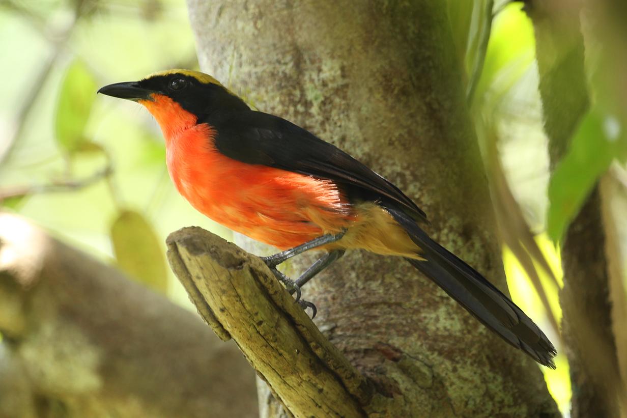 Orange Breasted Sparrow John Kormendy: ...
