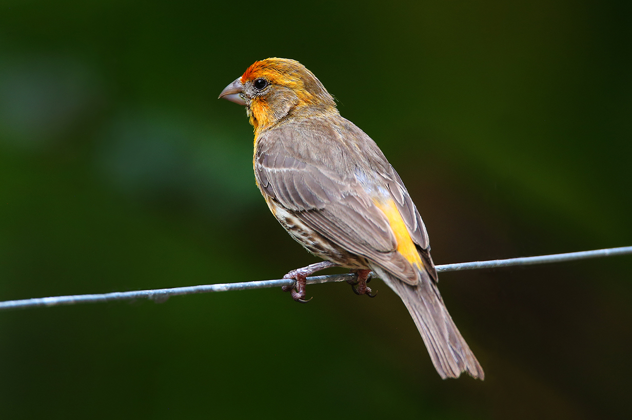 W Finch Leatherhead yellow house finch joh...