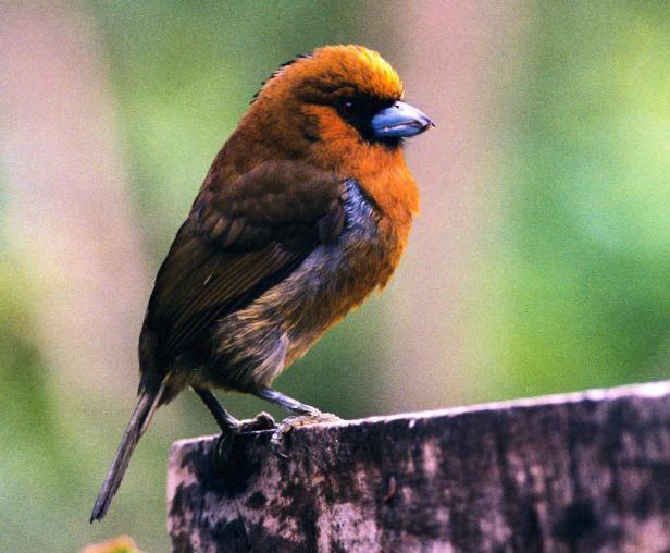 John Kormendy: Costa Rica Birds
