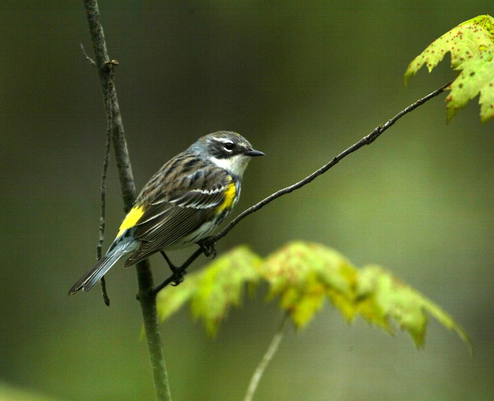 Canary Islands Bird Long Beak Grey Plumage Green Wings